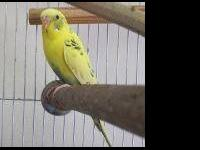 Parakeet (Other) - Female Parakeets - Small - Adult -