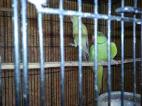 Parakeet (Other) - Joy - Medium - Young - Female -