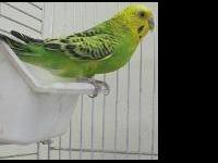 Parakeet (Other) - Male Parakeets - Small - Adult -
