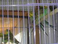 Parakeet (Other) - Parakeets-female - Small - Young -