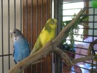 Parakeet (Other) - Sam And Evelyn - Small - Adult -