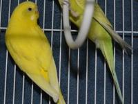 Parakeet (Other) - Tweety - Small - Adult - Female -