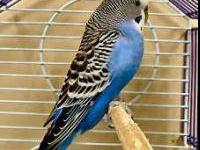 Parakeet (Other) - Wilson - Small - Adult - Male -