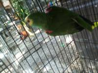 Sweet and loving baby quakers ($100), sun conures