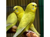 Parakeet (Other) - Parakeets! - Small - Adult - Male -