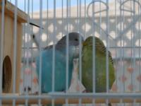 Parakeets (2) Pairs M/F They eat seed, vegetables,