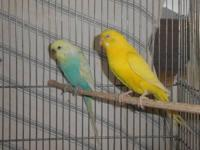2 tested parakeet pairs 2 years old, not tame, outdoor