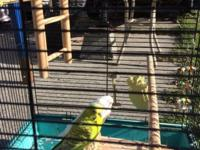 I have a male green parakeet that is tame and will sit