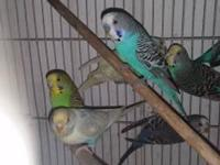 11 parakeets with cage. They are friendly and will sit