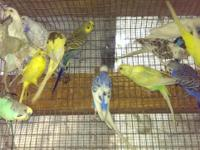Beautiful and colorful parakeets for sale. Males and