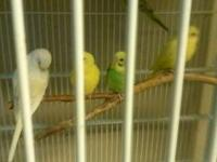 I have three young Parakeets. 1 blue and white, 1