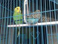 PARAKEETS I have 7 Parakeets for sale 3 girls and 4