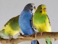 CUTE SMART PARAKEETS  FOR SALE EASILY TRAINED AND
