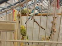 Four Parakeets. About 1 year old. Genders unknown. Must