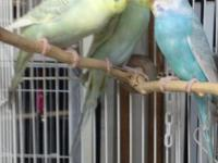 We have a wonderful selection of young parakeets