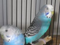 Beautiful healthy parakeets. don't talk, I have male