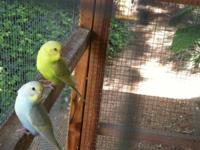 Beautiful, young, Male Parakeets. Young Brown/Red Male