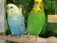 4 Parakeets up for adoption. 2 Adults, male and female,