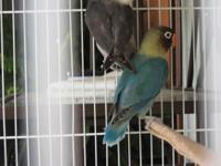 beautiful parblue lovebirds for sale, parents ( male