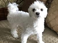 Paris's story Paris is a purebred Maltese male and is 5