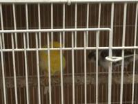 Parisian, Dutch frill Canaries are ready breeding this