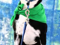 Meet Parker a 5 yr old male Boston mix.   Parker was a