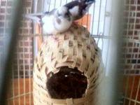 I have a pair of white and brown society finches. both