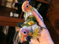 EXOTIC PARROTS - SUN CONURE BABIES! These beauties are