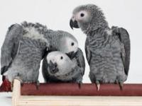 we have healthy, trained and tamed parrots ready to go