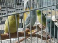 We have a few parrotlet in .. Just arrived stop by