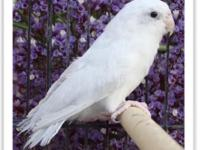 we ship! american white parrotlets for sale!