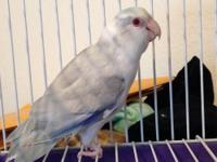 Have an adult male parrotlet for $250 or better offer.