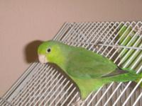 I have 3 pacific parrotlets for sale. They are all