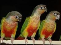 I have the cleanest bloodline of parrotlet families,