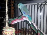 This little boy Parrotlet is 3 mths old. He is 3 shades