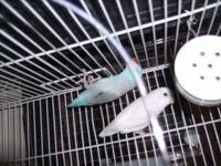 I have youthful Parrotlets age 5 month to 1 year aged
