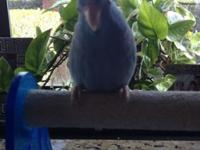 Blue Parrotlet, very tame likes his head rubbed ,back