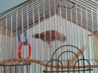 3 year old Blue male parrotlet, lost his mate would be