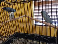 I have two blue Parrotlets for rehome $140. They are