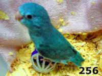 Beautiful Parrotlet Babies ready to go. Visit my site