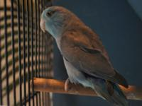 We have many nice parrotlets available for new homes