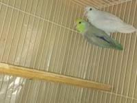 I'm looking for 2 Parrotlet breeder birds. They can be
