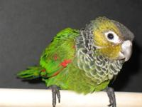 I have one Green Hand-Fed baby Parrotlet female being