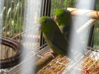 We have a pair of young green Parrotlets for sale. They
