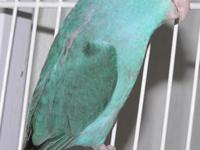 Beautiful PARROTLETS-Young Bonded Pair ONLY $50 each