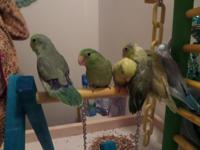 handfeed parrotletts these birds are so underrated.