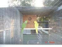 I have a few breeding pairs of parrots. Pair of indian