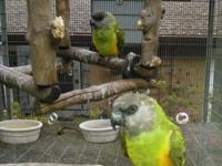 Have the following parrots available: Red Lored Amazon