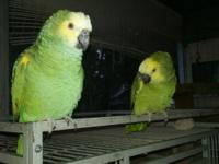 Parrots I have for sale: Blue Front Amazon male, 11