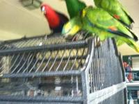 Solomon island Eclectus female weaned 1150 4 months